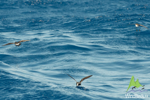 Storm Petrels on the chum slick