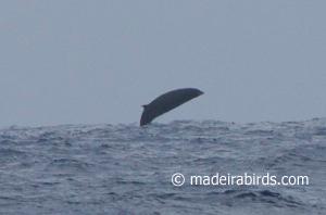 Beaked whale