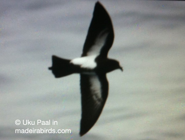 Black Bellied Storm-petrel in Madeira, Portugal