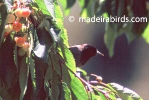Blackcap - melanistic form