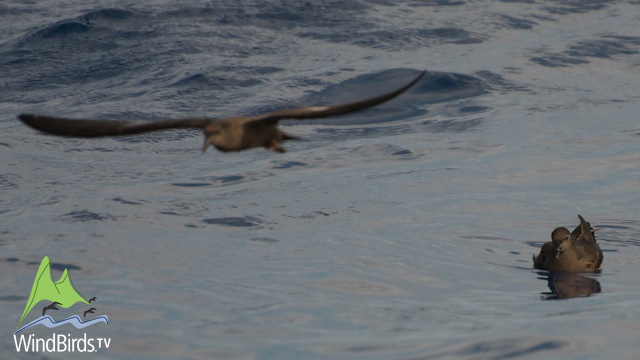 Bulwer's petrel in Madeira Pelagic Expedition