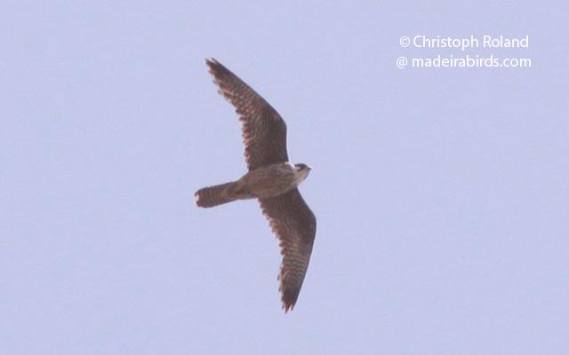 Eleonora's Falcon in Madeira