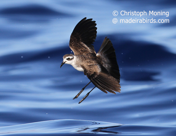 White-faced Storm Petrel