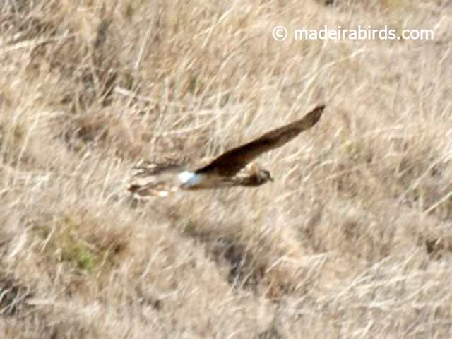 Hen Harrier, Madeira, Portugal