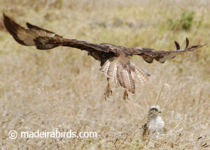 Common buzzard - Madeira subspecies