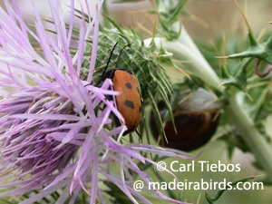 Cardoon and a beetle