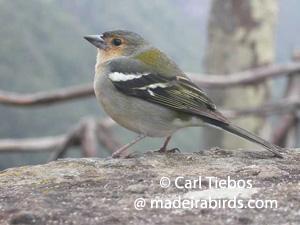 Chaffinch (Fringilla coelebs madeirensis)
