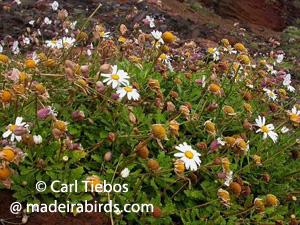 Mandon's Chrysanthemum