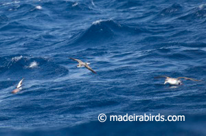Fea's petrel, White-faced Storm-petrel & Cory's shearwater