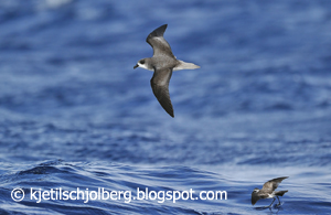 Fea's petrel and White-faced Storm-petrel