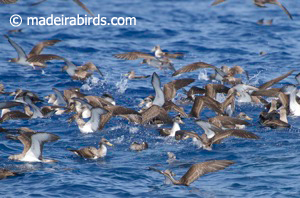 Flock of Cory's shearwaters