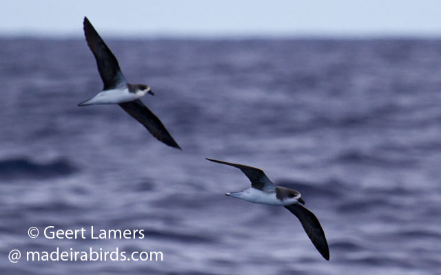 Fea's/Desertas petrel in Madeira Pelagic Expedition