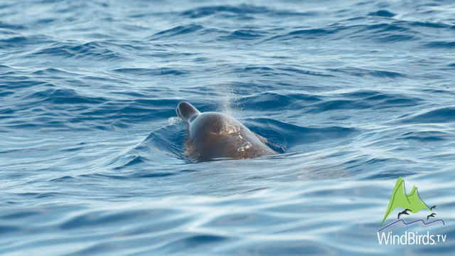 Gervais' beaked whale, Madeira