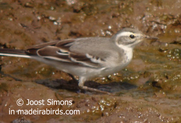 Citrine Wagtail, Madeira