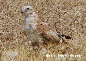 juvenile buzzard