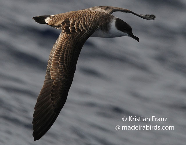 Great Shearwater in Madeira