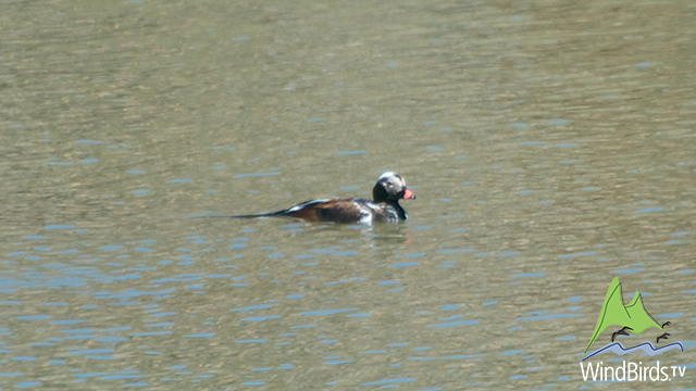 Long Tailed Duck in Madeira