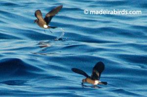 Madeira Storm-petrel