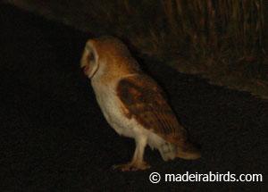 Madeira Barn Owl