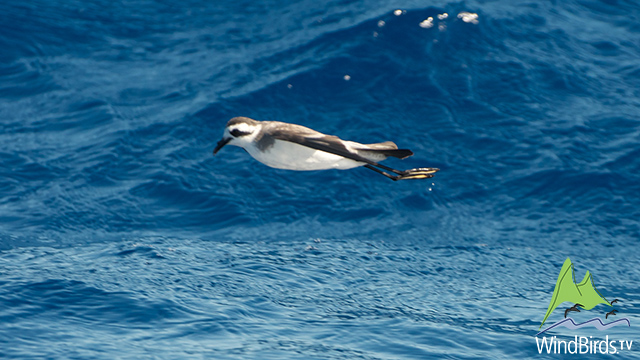 White Faced Storm Petrel, Madeira