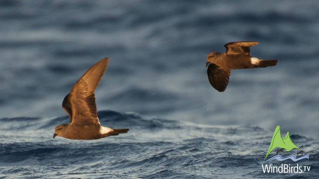 Madeiran Storm Petrel in Madeira Pelagic Expedition