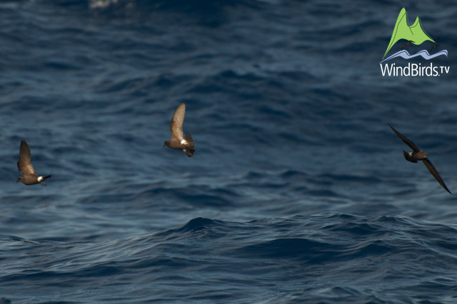 Storm Petrels feeding on the chum