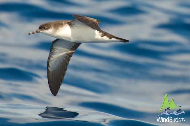 Manx Shearwater in Madeiral
