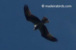 Osprey in Madeira