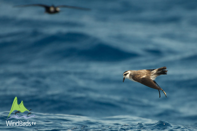 White-faced & Madeiran Storm Petrels