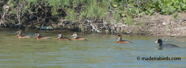 Ring-necked Ducks in Porto Santo