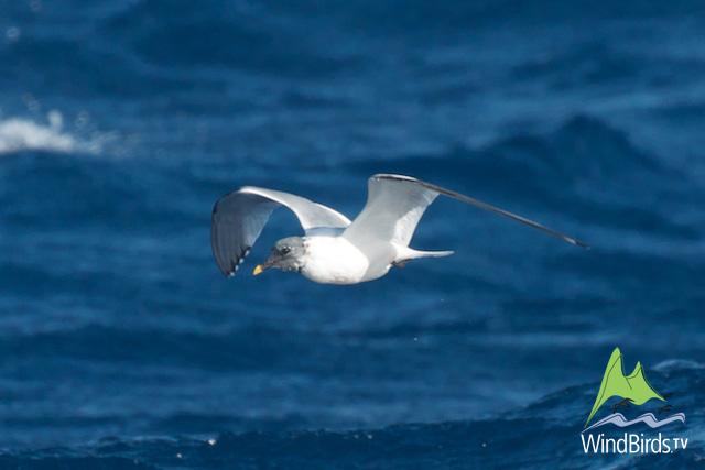 Sabine's gull, Madeira