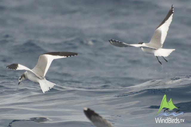 Sabine's Gull in Madeira Pelagics