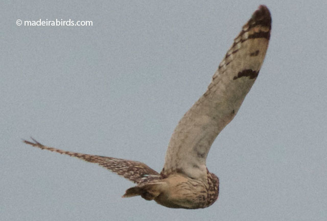 Short-eared Owl in Madeira