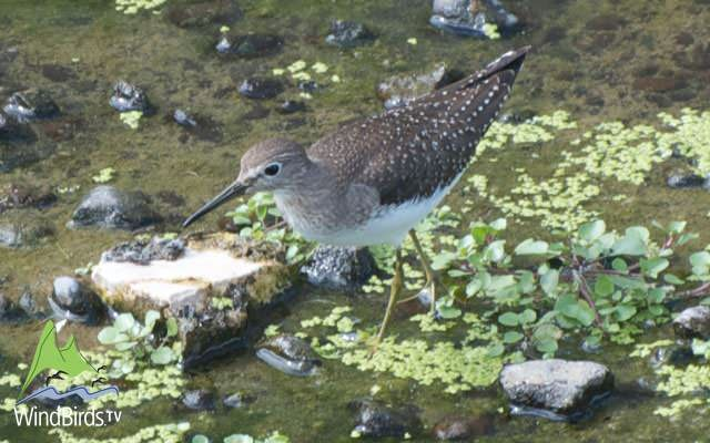 Solitary Sandpiper, Madeira, Portugal
