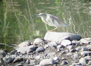 Squacco Heron at Lugar de Baixo