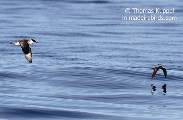 Great shearwater & Bulwer's petrel, Madeira