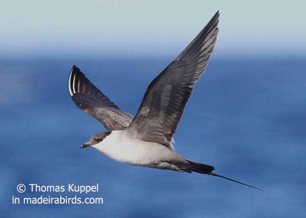 Long-tailed Skua, Madeira