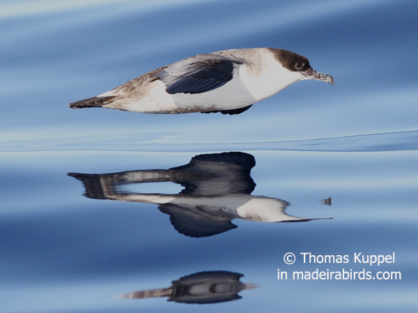 Great shearwater, Madeira