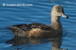 American Wigeon in Madeira
