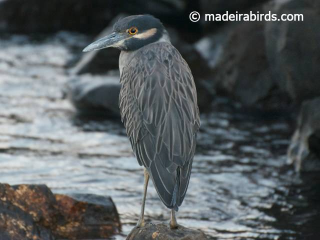 Yellow_crowned Night Heron, Funchal, Madeira, Portugal