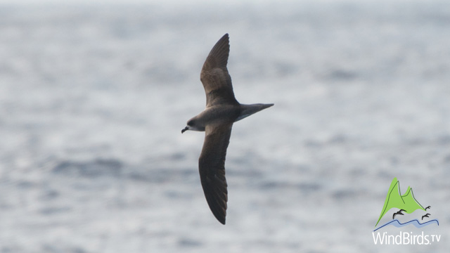 Madeira, Zino's Petrel